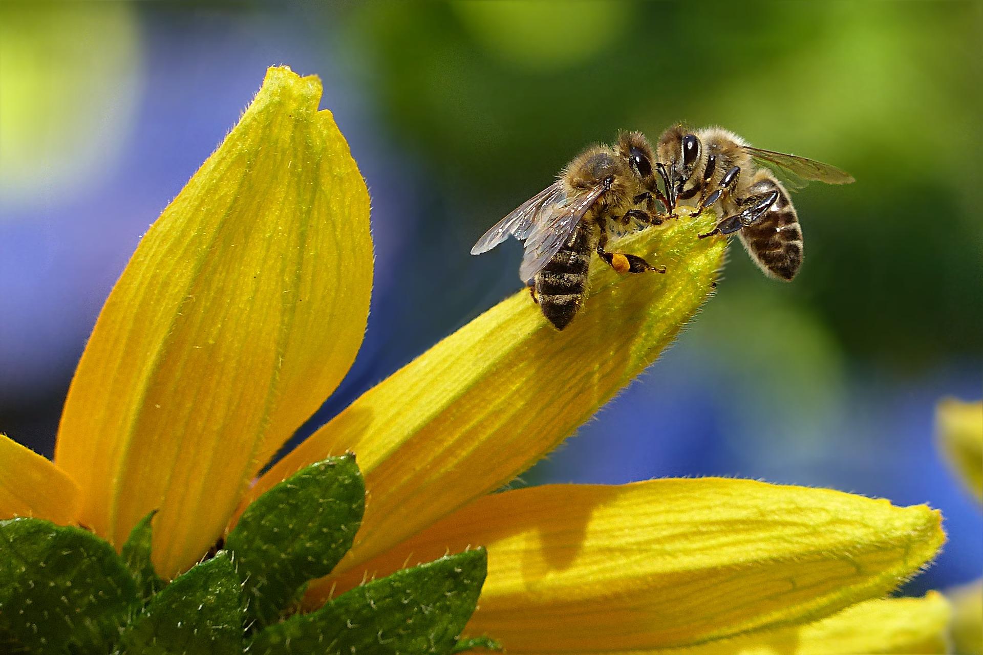 Két méh egy sárga virág szirmain találkozik